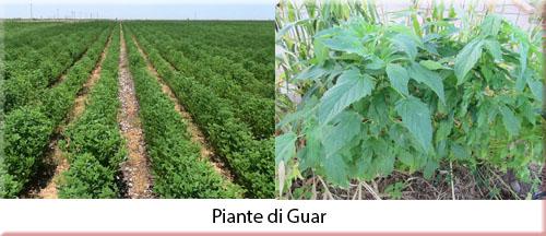 guar1